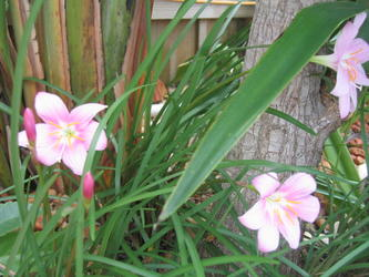 rainlillies1.jpg